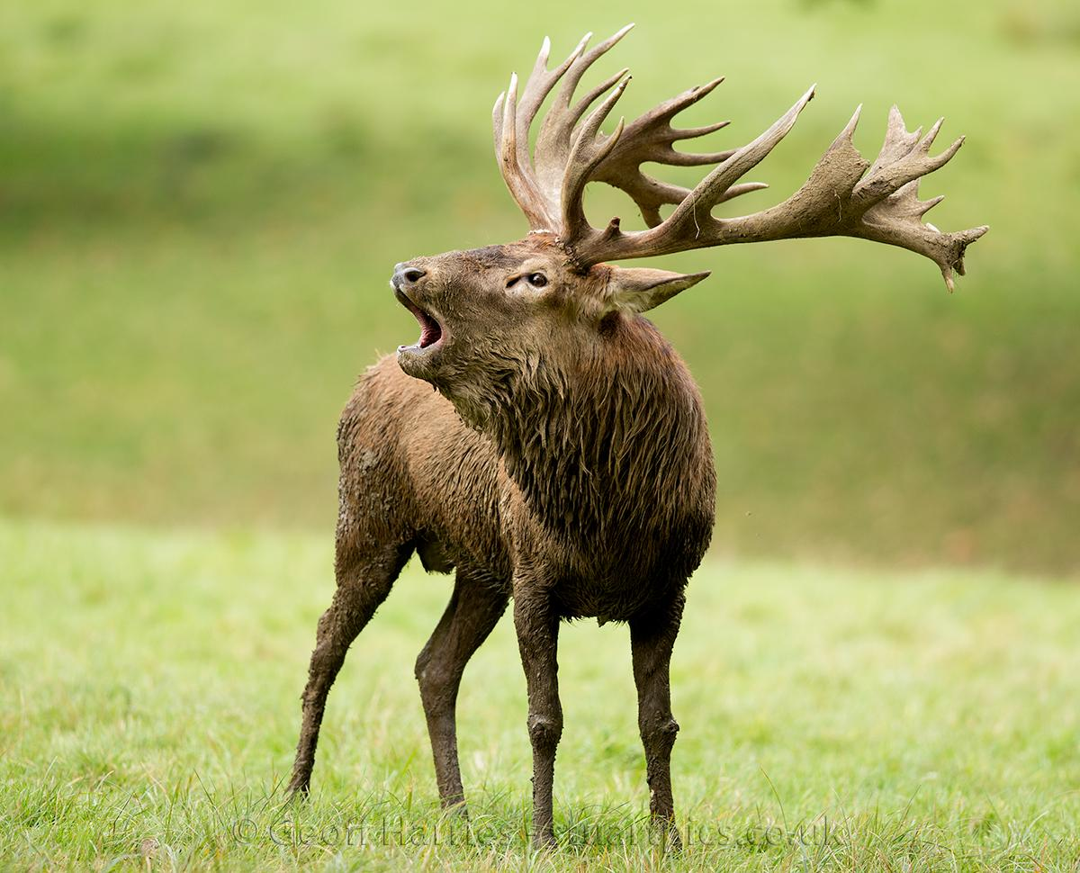 Red And Sika Deer Stuartpics Co Uk Photography By