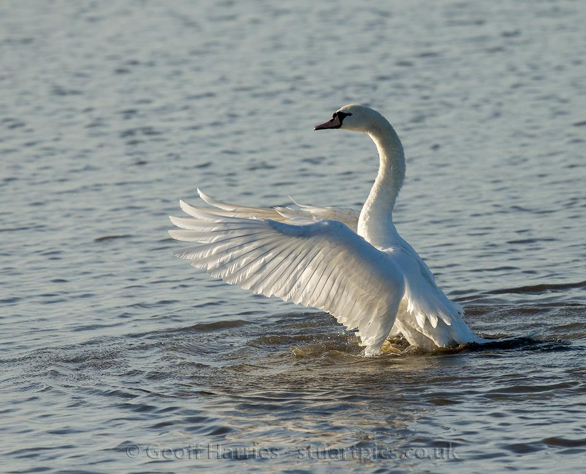 Swans Stuartpics Co Uk Photography By Geoff Harries