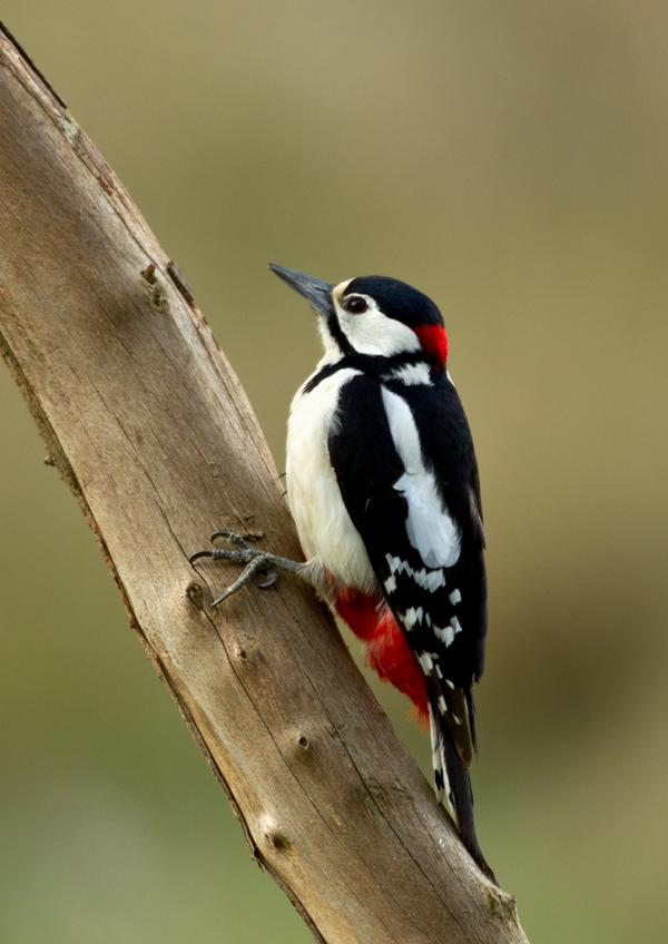 Woodpeckers Stuartpics Co Uk Photography By Geoff Harries